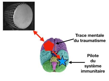 tambour immunite.001